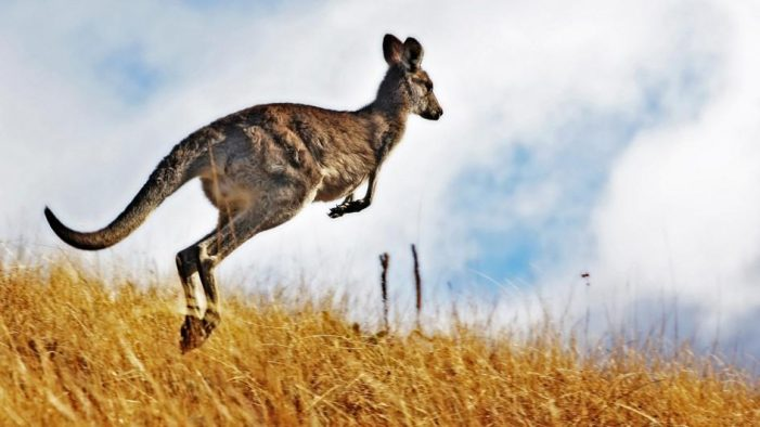 Kangaroo Spotted Just a Hop, Skip, and a Jump Away from Edgefield County