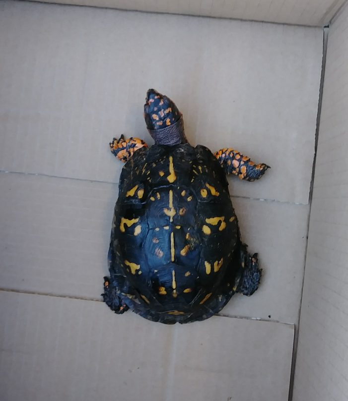 A Town Turtle Becomes a Country Turtle