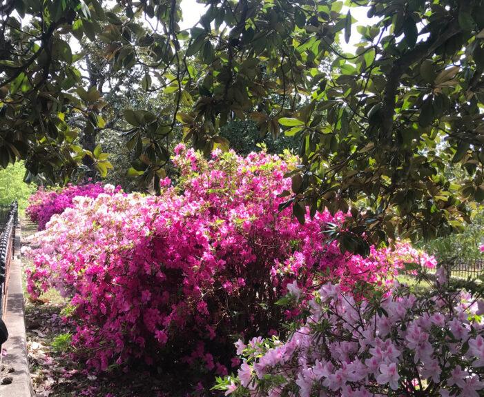 The Beauty of Formosa Azaleas